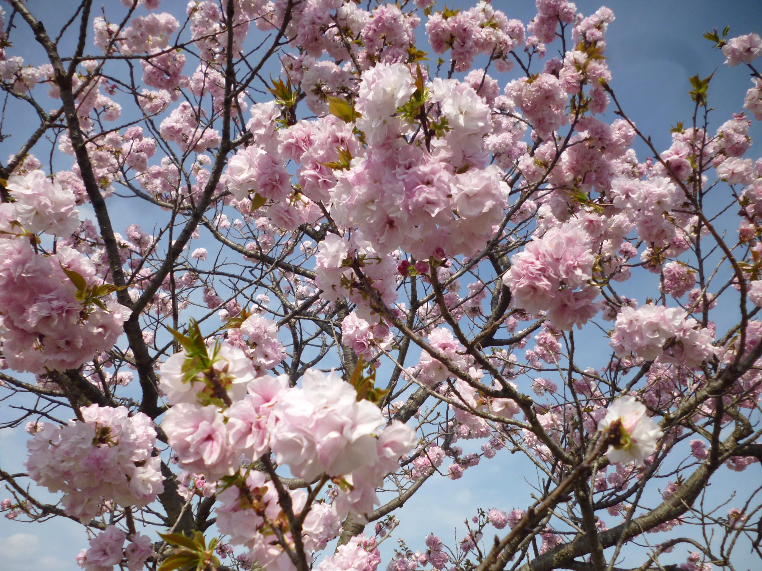 4月行事「お花見」